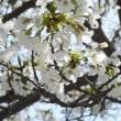 大島桜。。