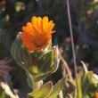 ふゆしらず(冬知らず)の花