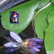 古稀ライヴ夏休み7日目の熱帯睡蓮ティナ3号水中花に