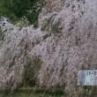 桜はもうすぐ満開🎵