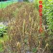 ニンニク収穫