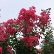 夏の花「百日紅」佳境、今年は色鮮やか。