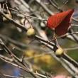11月中旬の砧公園(1)サンシュユ、シロヤマブキ、ハンカチノキ、コブクザクラ