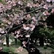 新宿御苑の寒桜・・3