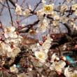 ◆ 梅の花