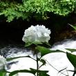 紫陽花の季節6・・・【いな】