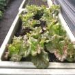 菜園の野菜たち