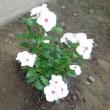 我が家の お花様達 765