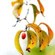 万博公園の山茱萸の果実
