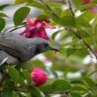 ヒヨドリ 山茶花の蜜を吸う
