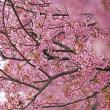 倉敷川千本桜