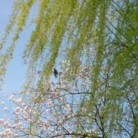 桜を撮ってみました。