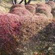 ドウダンツツジの紅葉が始まった