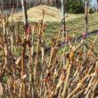 紫陽花の新芽が出てきました・・・・