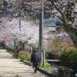 桜満開の醒井宿 趣味帰り