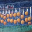 軒下に吊るして置いた干し柿が、再び食害に遭っているのにいるのに今朝気が付いて・・・