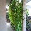 20170819記録(kata54)、庭・緑のカーテン