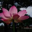 はじめて水元公園の蓮をみた・・・