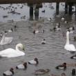 「瓢湖」の白鳥