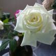 聖なるバラ