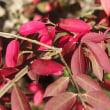 錦木の紅葉