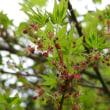 イロハモミジの花とつぼみ