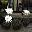 サボテンの花は何故一斉に咲くのか?