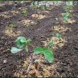 来年用のイチゴ苗の植え付け作業が、今朝に成ってようやく終わり・・・