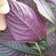 紫の輝きディエリアナ
