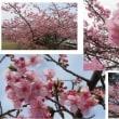 ≪河津桜≫ 終盤でしょうか。