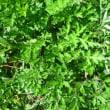澄んだ空 ヨモギの香り 春の風 (菜人)