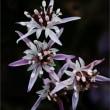 薄紫のセリバオウレン