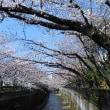 2018石神井川の桜5