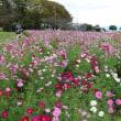 慈眼寺公園のコスモスも見頃になっていました・・・鹿児島の風景