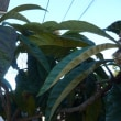 雨の日の琵琶の木