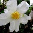 山茶花の花にカニグモ
