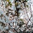 桜が、、、。