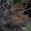 ライオン・母子  Lion /ケニア Kenya