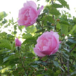 古い中国のつるバラ