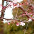 満月の日のお花見!果たして桜の花満開か?