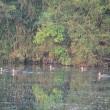 今朝は、対岸にカモが10羽以上いました。