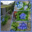 我が家の「紫陽花」