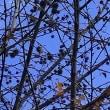 タイワンフウ並木