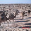 沙漠をゆくラクダ