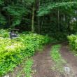 ヤマアジサイが迎えるアダージョの森