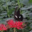 今まで見た蝶とは違う黒い蝶が集団でいました。