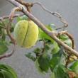 Prunus persica ❛Sarasa Unryu Shidare❜