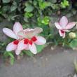 姫檜扇(ひめひおうぎ)という花