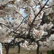 桜、くらべ