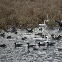 群れ飛ぶ白鳥とガン